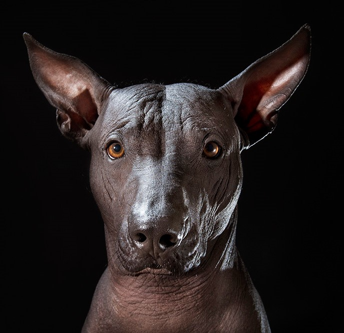 12_series-of-hairless-dogs-by-sophie-gamand