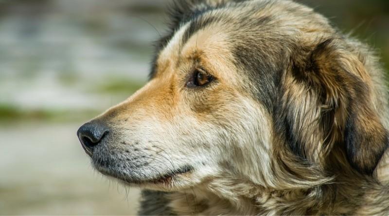 Собаки Балабаки