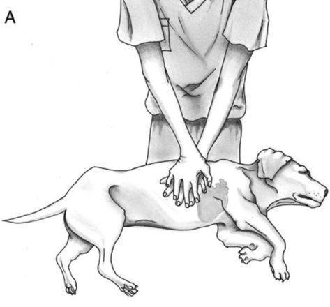 Непрямой массаж сердца собаке
