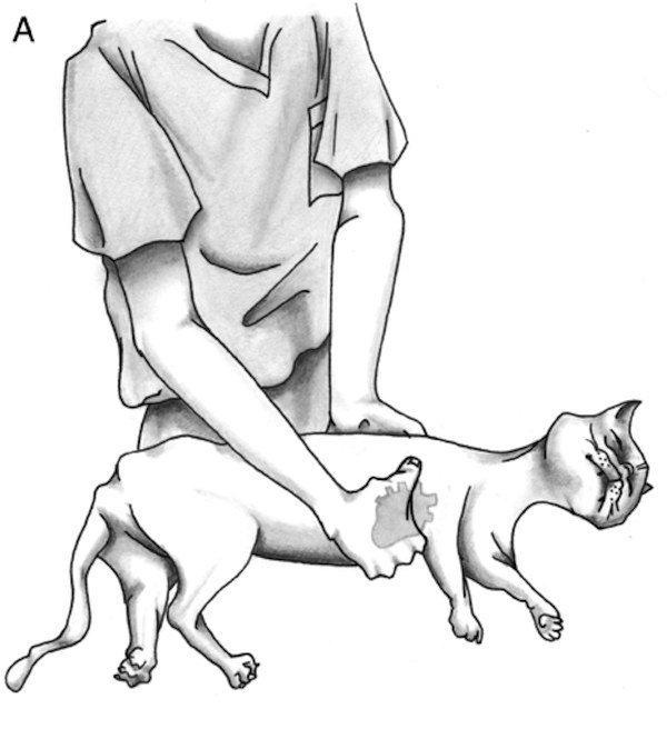 Массаж сердца кошке