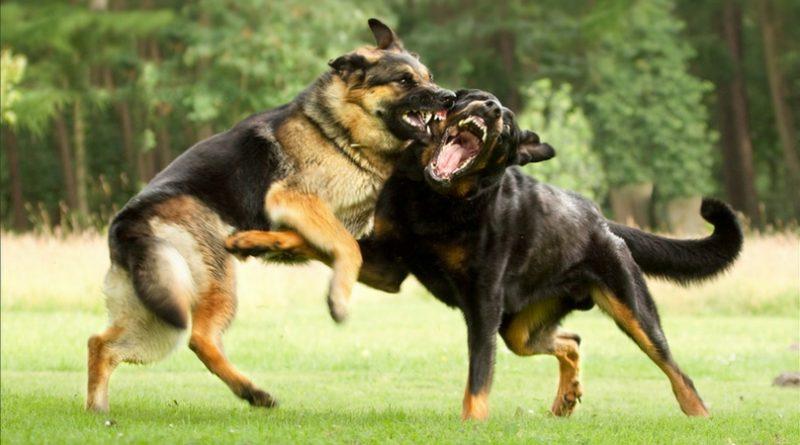 Собаки деруться