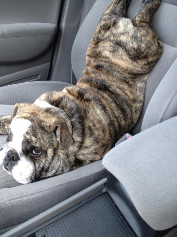 Собака в машине спит