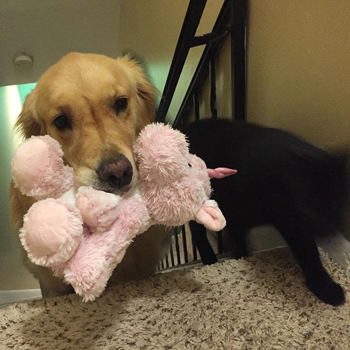 Лабрадор спит с игрушками