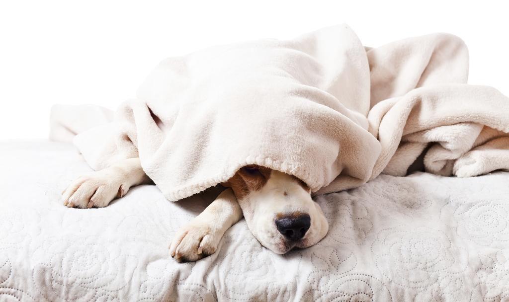 Собка под одеялом