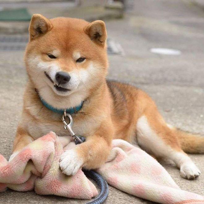 Собака ухмыляется