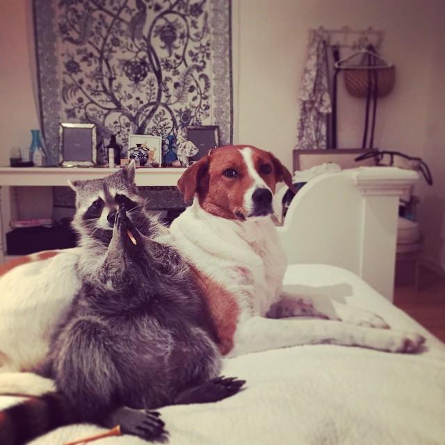 Енот живет с собаками