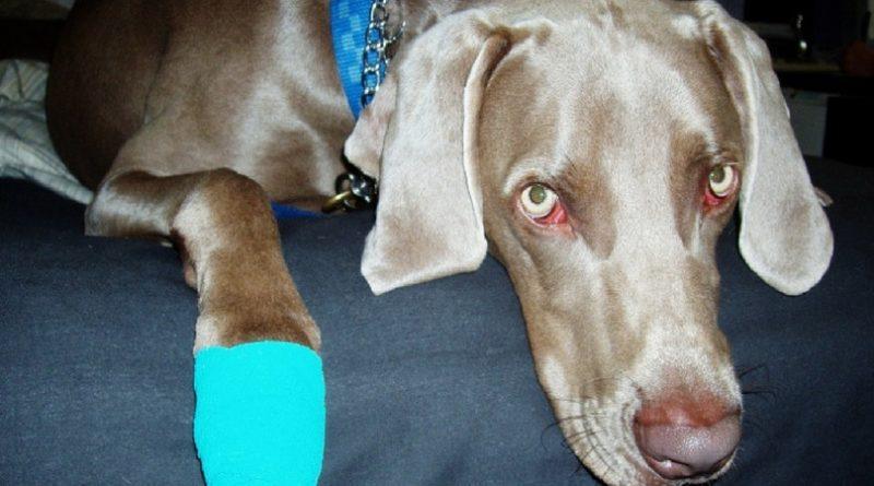 Собака порезала лапу