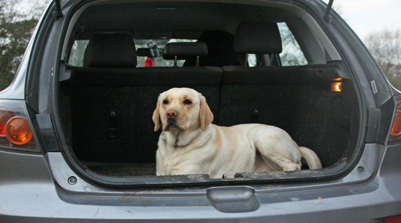 Лабрадор в автомобиле