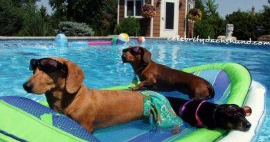 Таксы в бассейне