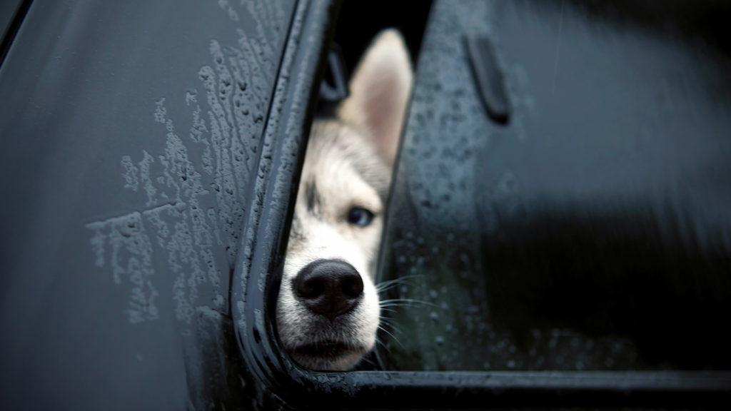 Собака в машине выглядываетв окно