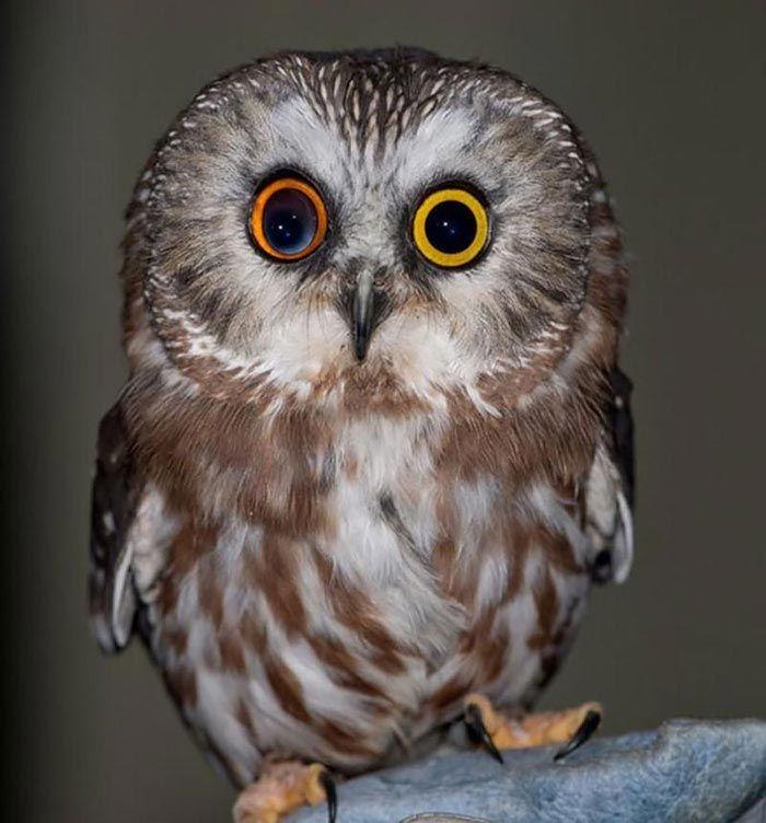Сова с разными глазами