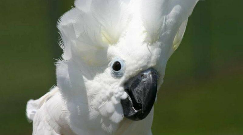 Попугай танцует под песню Элвиса Пресли