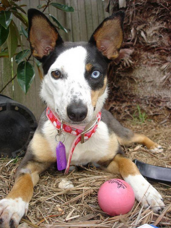 Собака с гетерохромией