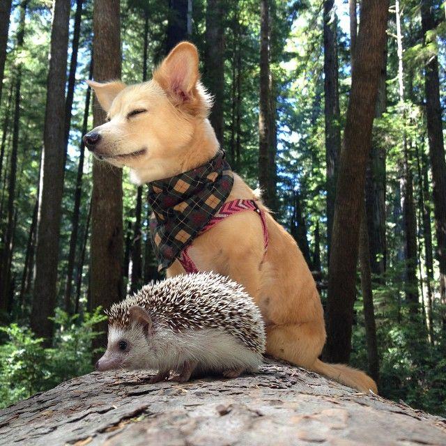 Ёжик и собака