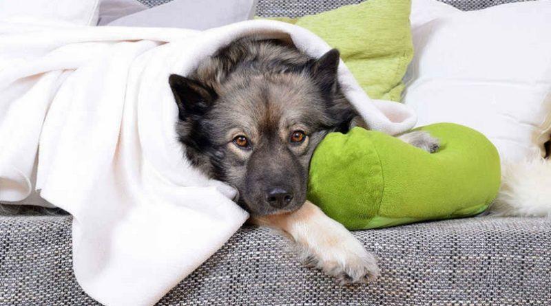 инфекционный трахеобронхит у собаки