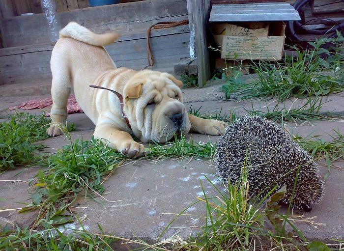 Ёж и собака