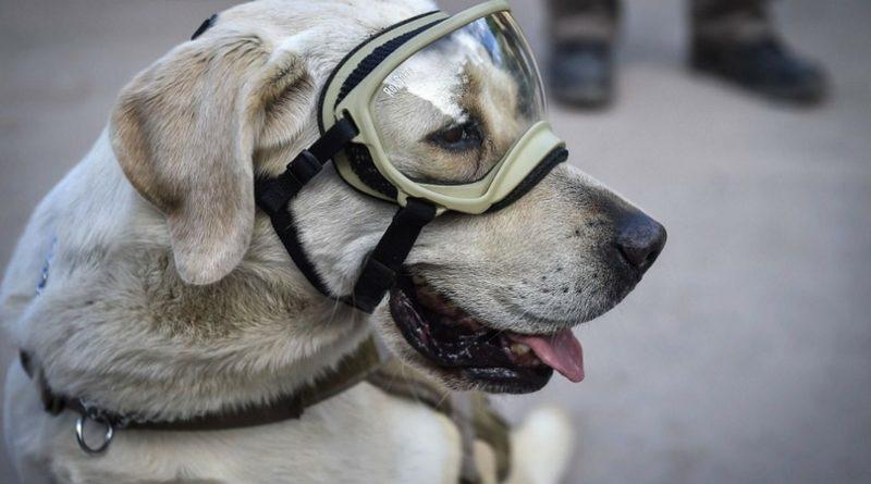 Собака спасатель Фрида
