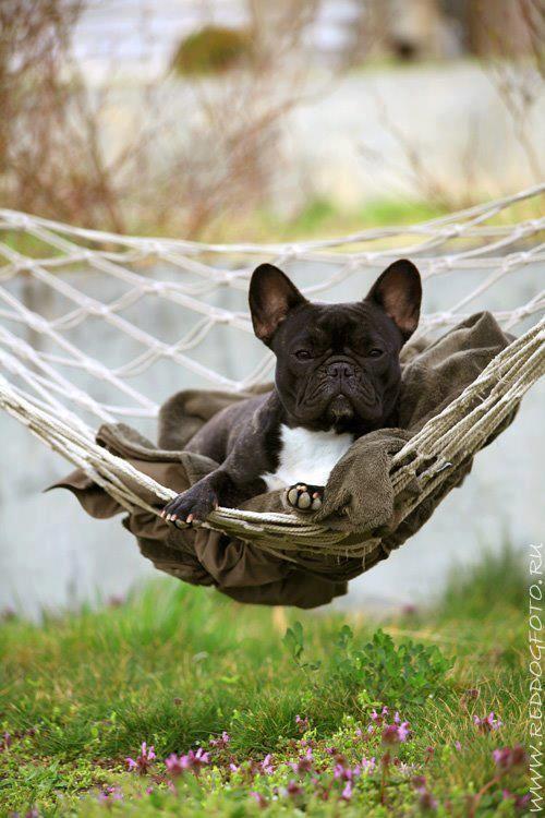 Собака в гамаке