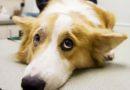 Аллергия на собак: чудовищные заблуждения, из-за которых убивают животных