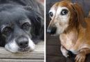 Деменция у собак: когда любимый пес начинает тебя забывать
