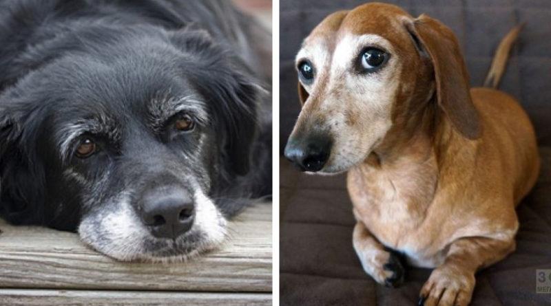 Деменция у собак