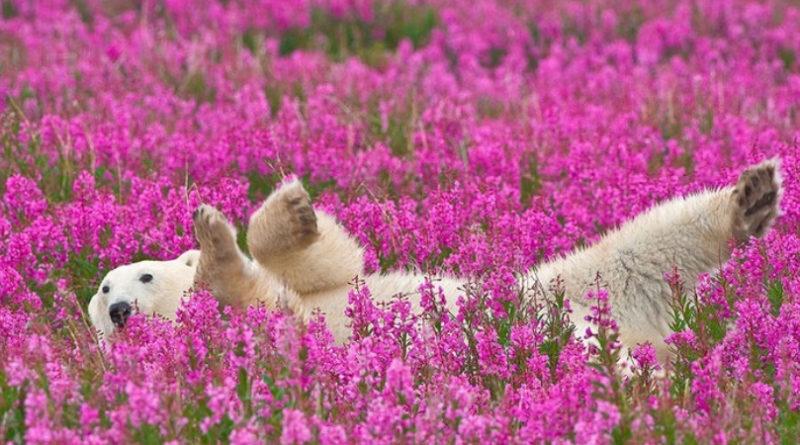 Летнее веселье полярных медведей в фотообъективе Денниса Фаста